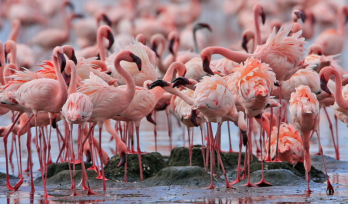 Lesser flamingos at Lake Nakuru, Lake Nakuru National Park, Kenya © Dave Richards
