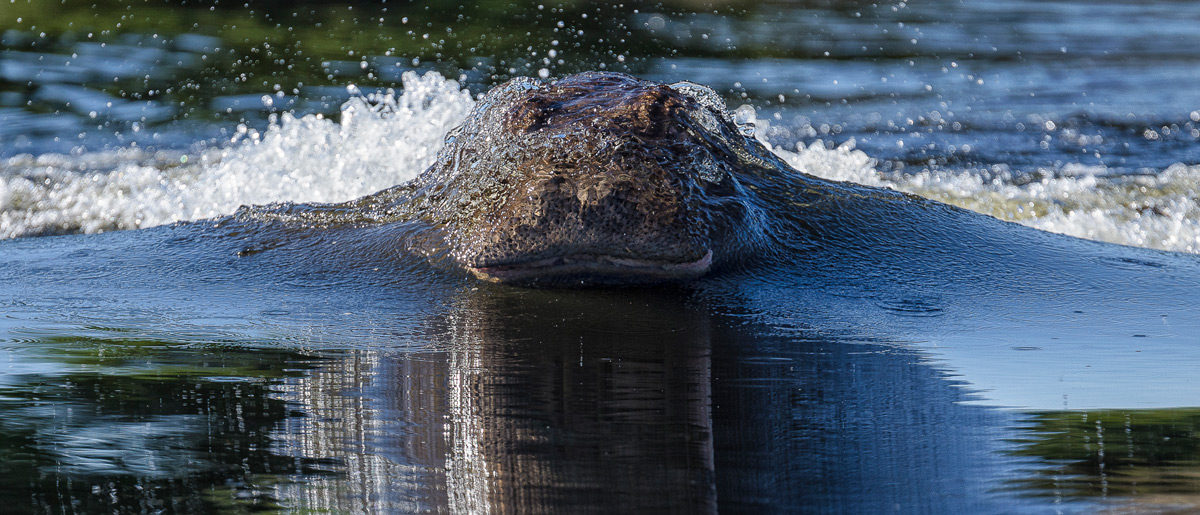 A hippo surfaces out of the water at speed in Chobe National Park, Botswana © Deena Sveinsson