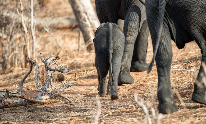 Elephant calf walking with adults