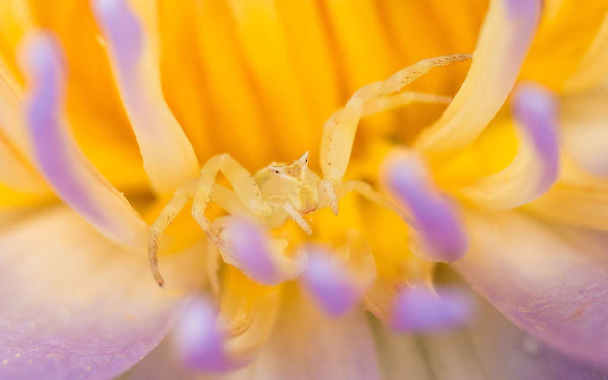 A crab spider (Thomisus stenningi) awaiting prey on a water lily in Greater Kruger National Park, South Africa © Eraine van Schalkwyk