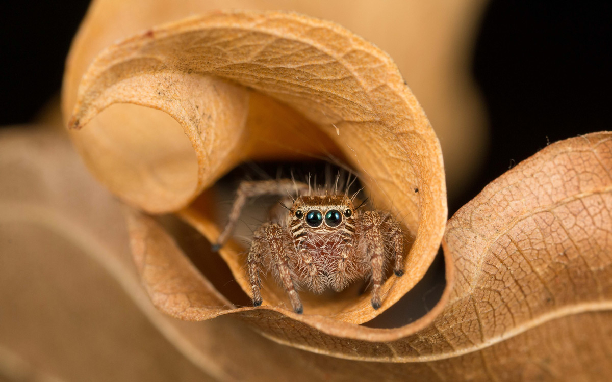 A jumping spider (Hyllus sp.) in a folded leaf in Greater Kruger National Park, South Africa © Eraine van Schalkwyk