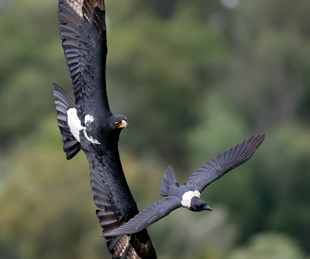 A Verreaux's eagle chases a pied crow in Water Sisulu National Botanical Garden, South Africa © Ernest Porter