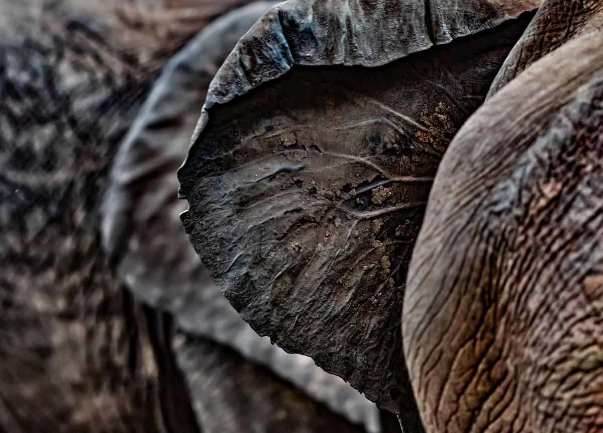 Textures on the back of an elephant's ear in Kruger National Park, South Africa © Ernest Porter