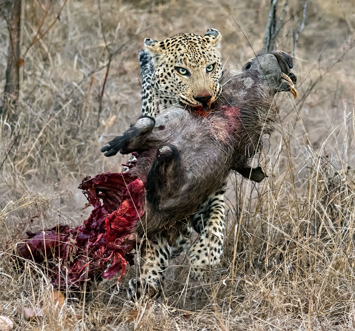 """""""This male leopard retrieved his warthog kill from a spotted hyena. Here he is running with the kill away from the hyena towards a tree."""" – Kruger National Park, South Africa © Ernest Porter"""