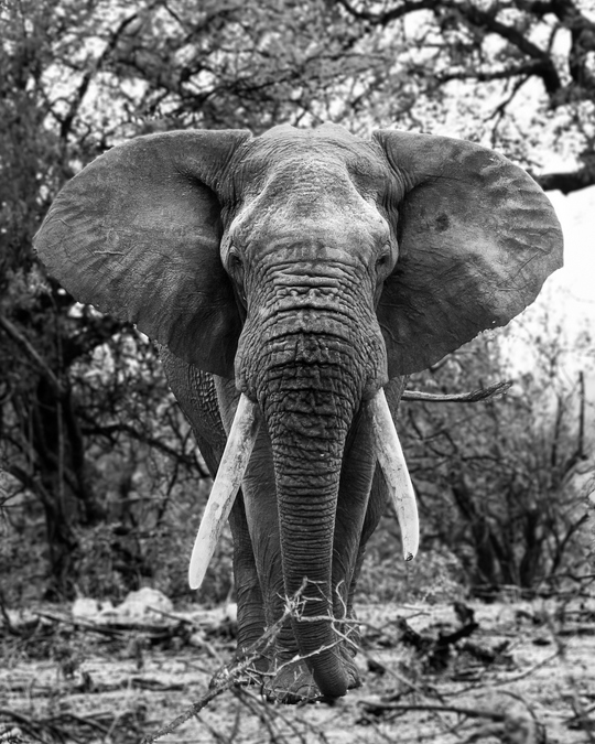 Black and white image of tusker elephant in Balule Private Nature Reserve