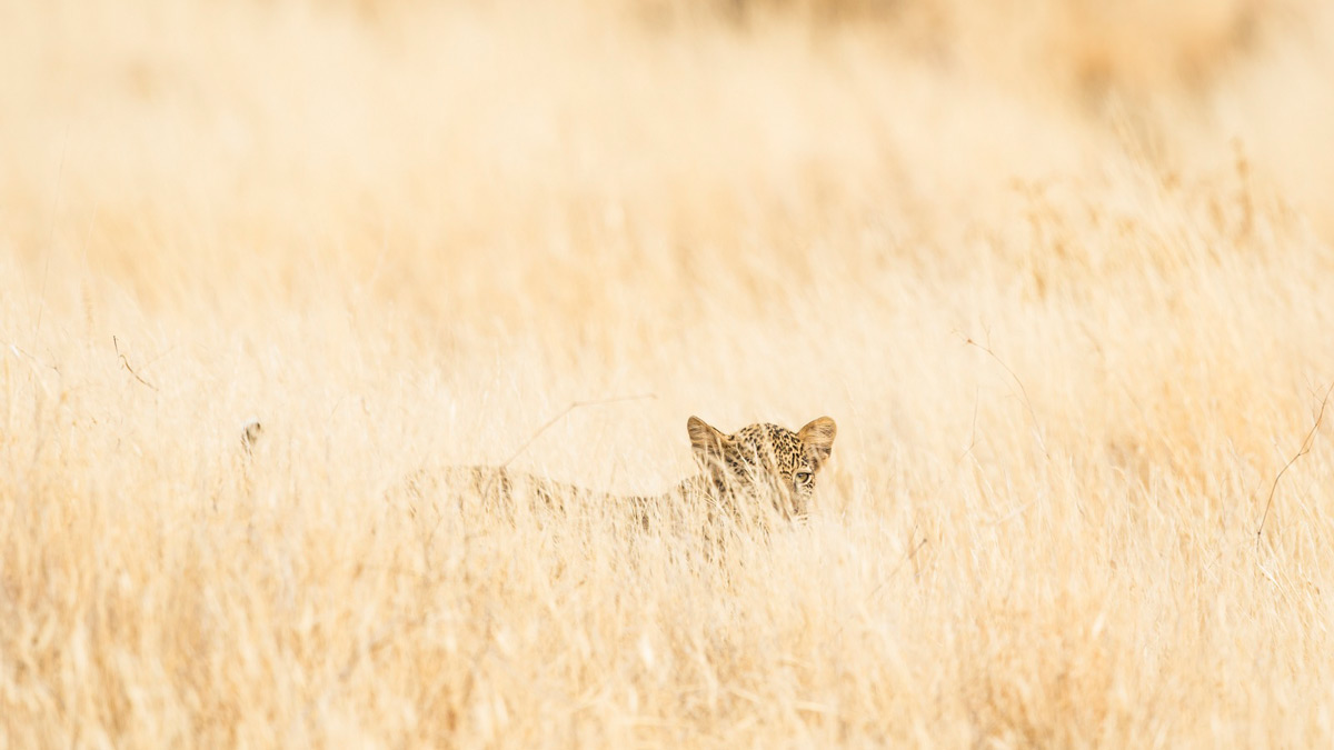 A leopard cub almost disappears in the tall grass in Samburu National Reserve, Kenya © Faraaz Abdool