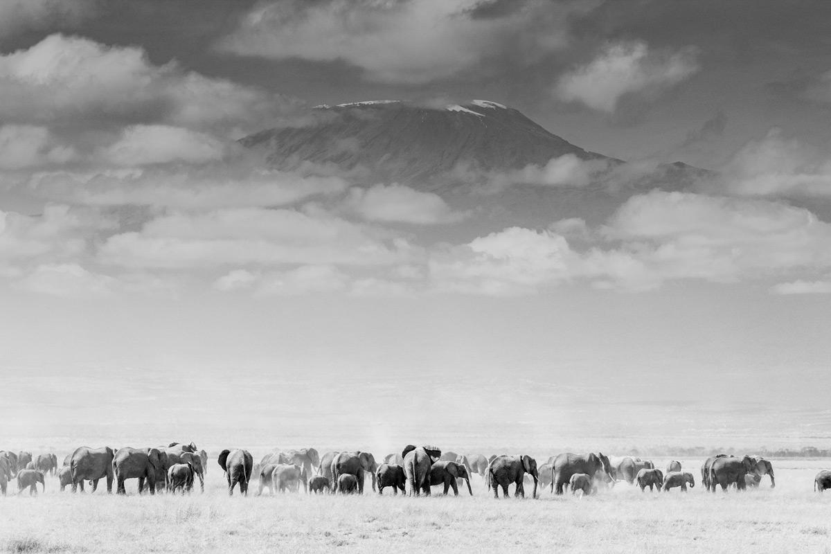 The legendary elephant herds of Amboseli, with Mount Kilimanjaro rising above, Amboseli National Park, Kenya © Fiona Noyes
