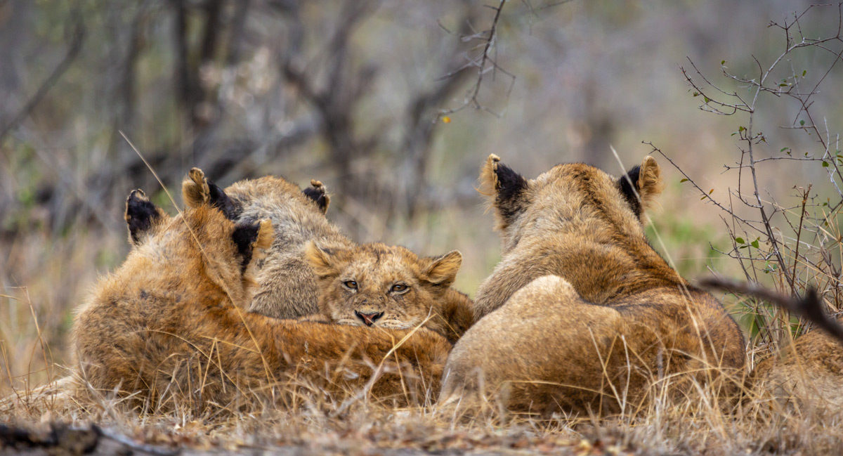Lions laze away the morning in Sabi Sands Private Game Reserve, South Africa © Garry Hafner