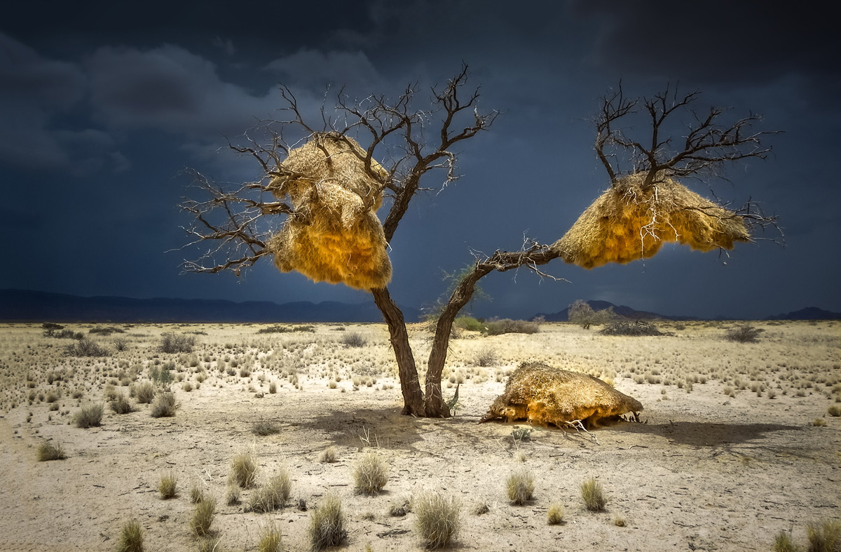 A sociable weaver colony, with a storm brewing in the distance in Sesriem, Namibia © Gary Proctor