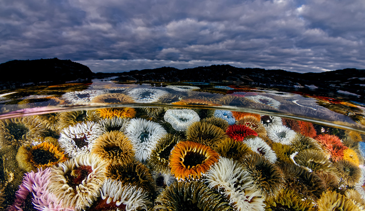 Sandy anemones, West Coast, South Africa © Geo Cloete