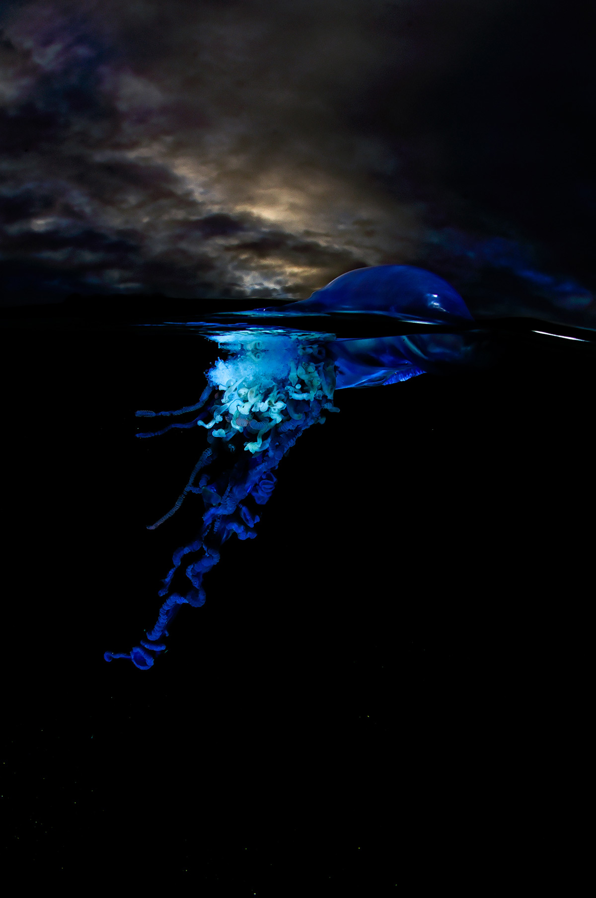 """""""Sailors from the deep – a Portuguese man-o'-war (Physalia utriculus) in the Atlantic Seaboard, Cape Town, South Africa © Geo Cloete"""