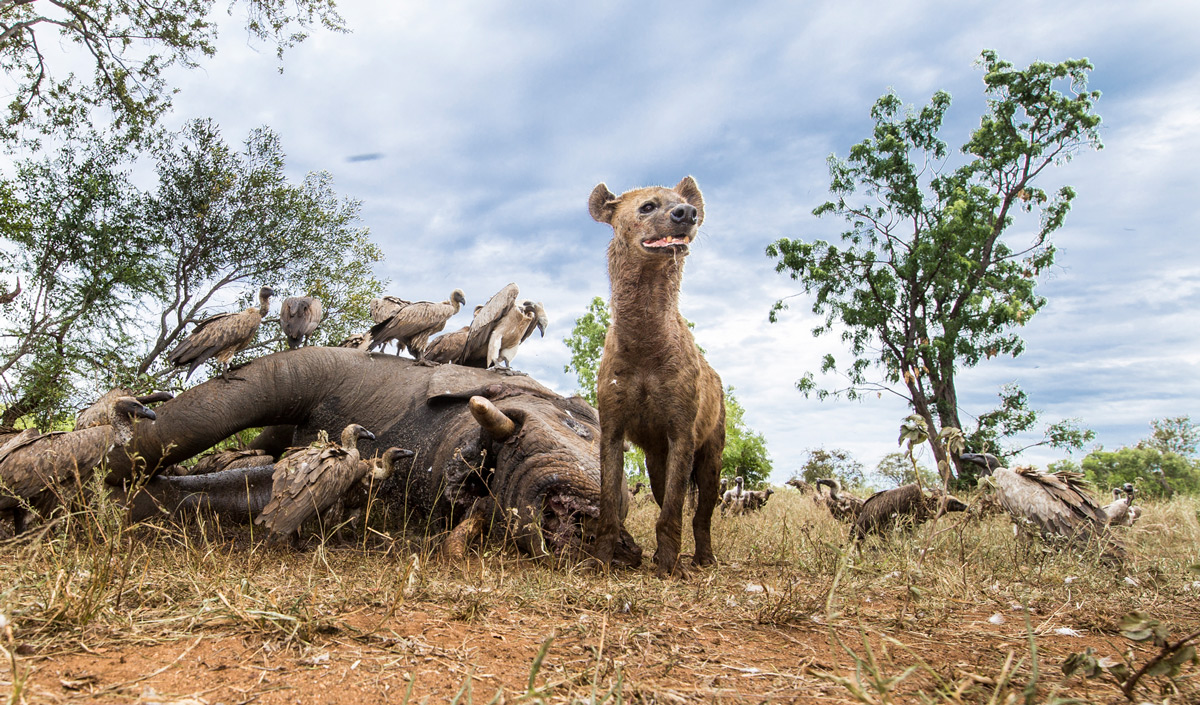 A hyena checks for approaching danger while feeding on an elephant carcass in Sabi Sands Private Game Reserve, South Africa © Gerald Hinde