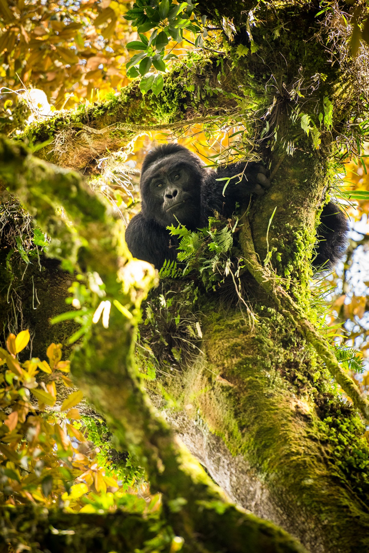 'I see you' – a silverback mountain gorilla from a newly habituated group keeps a close eye on the photographer in Bwindi Impenetrable National Park, Uganda © Guillaume Niger