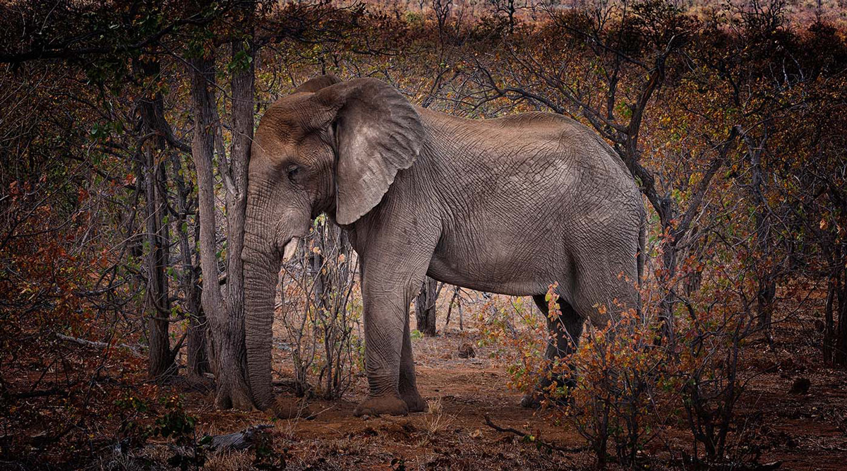 An elephant leans its head up against a tree in Kruger National Park, South Africa © Henk Albronda