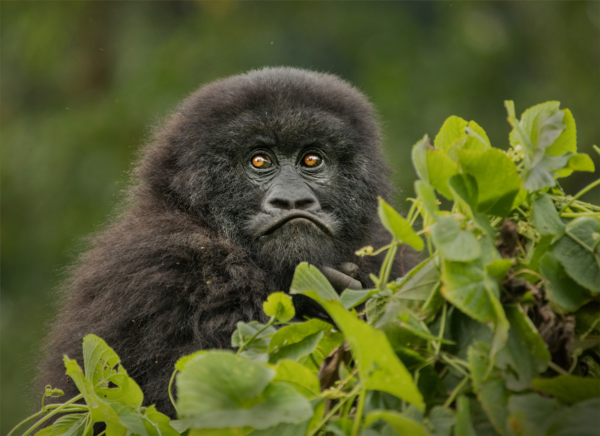A juvenile mountain gorilla watches others play from a distant treetop in Virunga National Park, DR Congo © Hesté de Beer