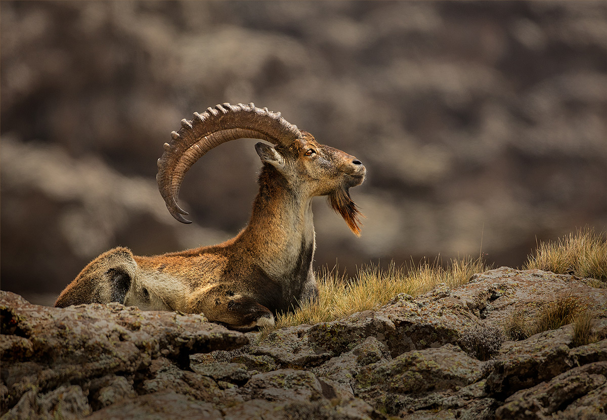 A critically endangered walia ibex ram basks in the sun on a cold winter's morning, Simien Mountains National Park, Ethiopia © Hesté de Beer
