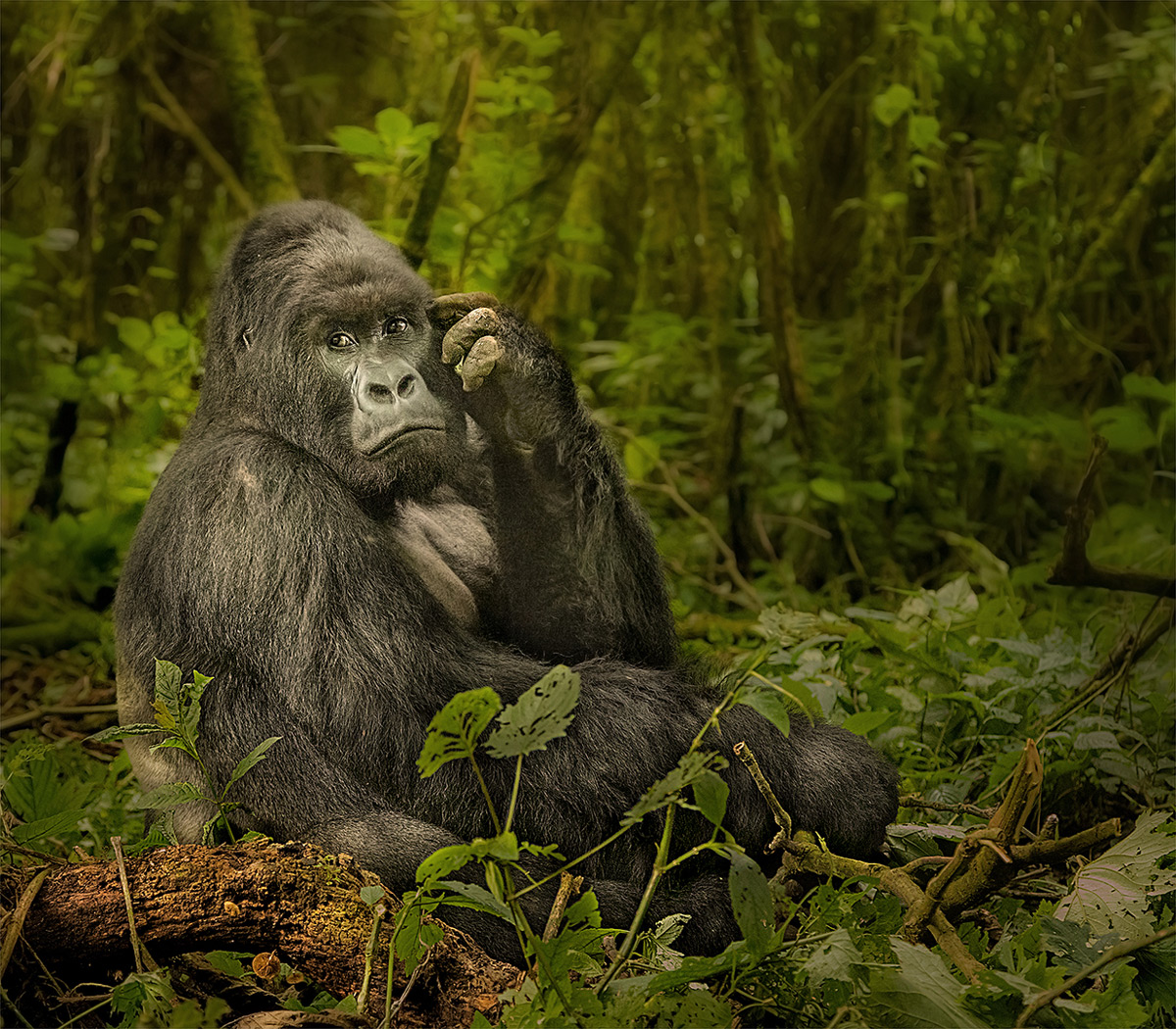 An impressive silverback mountain gorilla in Virunga National Park, Democratic Republic of the Congo © Hesté de Beer
