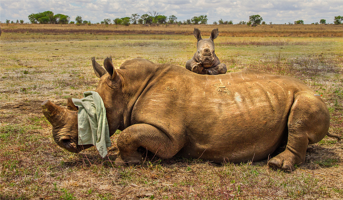 A white rhino calf refuses to leave its mother after she was darted for a dehorning, South Africa © Hesté de Beer