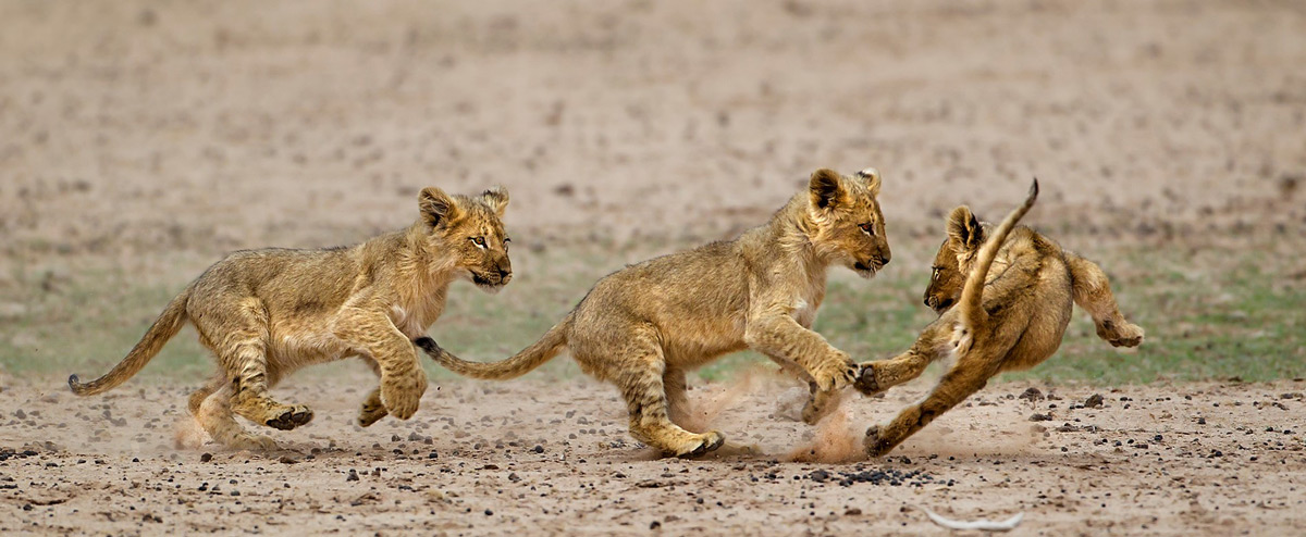 Lion cubs play in Kalahari Gemsbok National Park, South Africa © Hesté de Beer