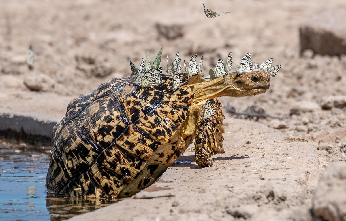 A leopard tortoise with a swarm of brown-veined butterflies looking for moisture in Mabuasehube Game Reserve, Botswana © Hubert Janiszewski