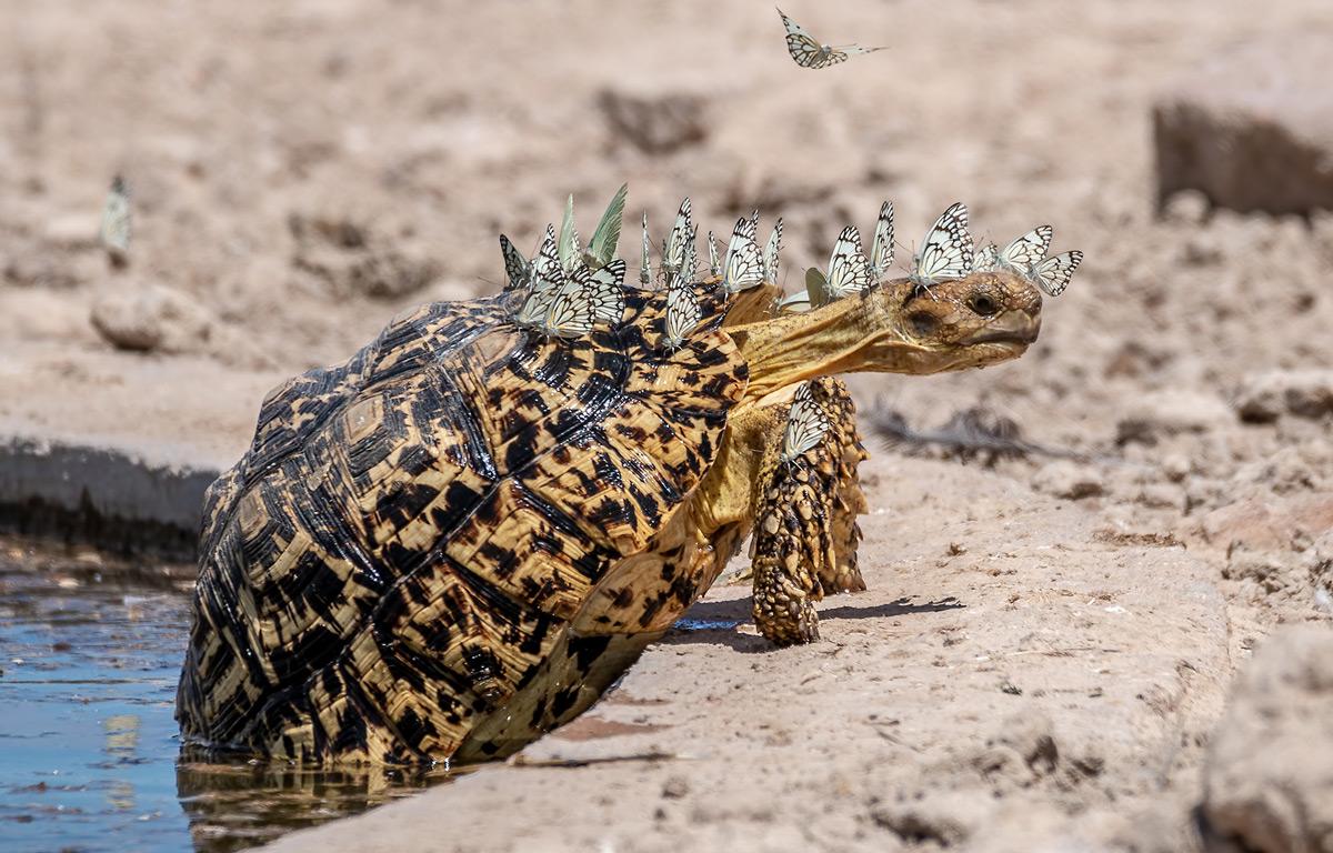 Leopard tortoise with butterflies © Hubert Janiszewski