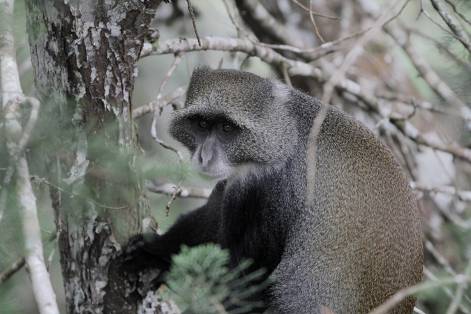 Blue monkey in Taita Hills forest in Kenya