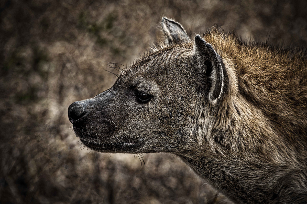 Portrait of a spotted hyena, Kruger National Park, South Africa © Ian Ground