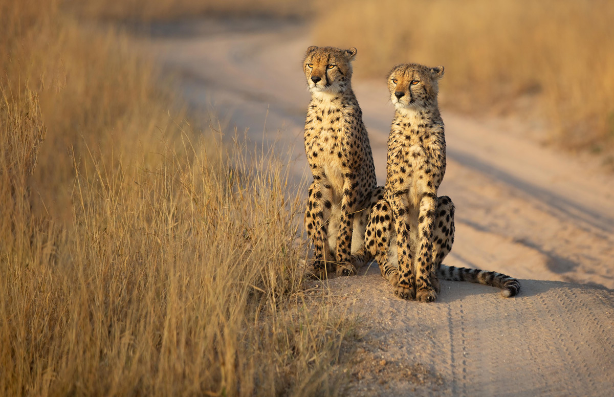 Cheetah brothers survey the grasslands looking for their next meal in Sabi Sands Private Game Reserve, South Africa © Ilze du Toit