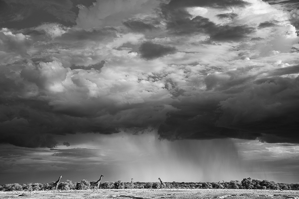 Giraffes and a passing rain cloud in Etosha National Park, Namibia © Jandré Germishuizen