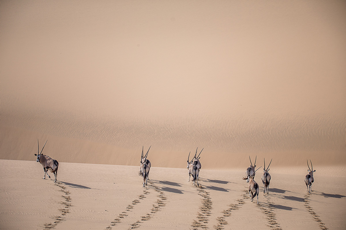 """Marching forward"" – gemsbok roam in the most difficult of climates in Namib-Naukluft National Park, Namibia © Jandré Germishuizen"
