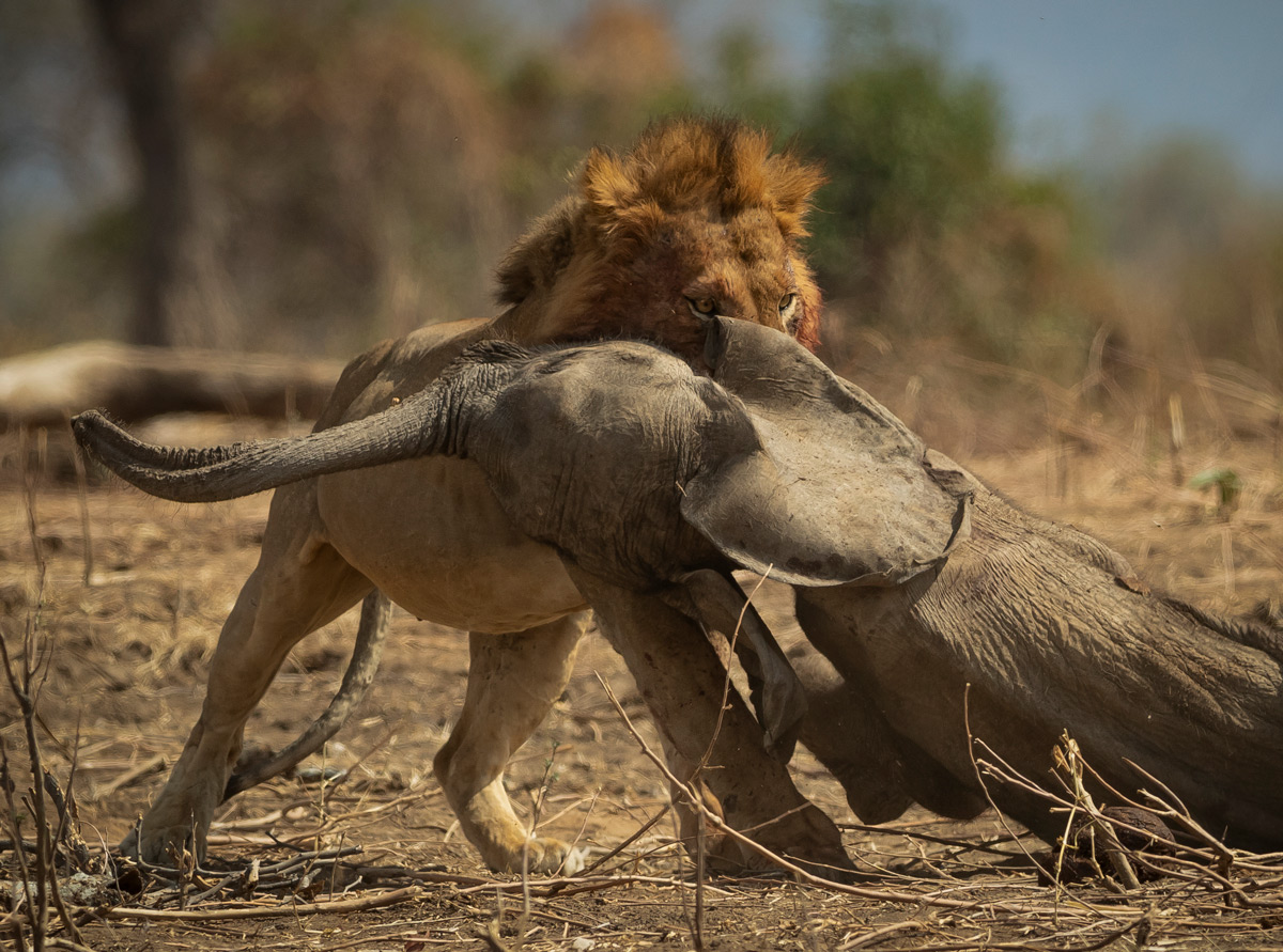 Lion dragging elephant calf in Mana Pools © Jens Cullmann