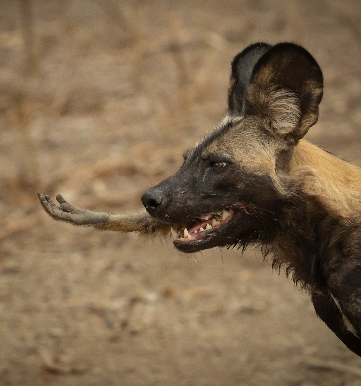 A painted wolf (African wild dog) with a baboon's hand in its mouth, Mana Pools National Park, Zimbabwe © Jens Cullmann