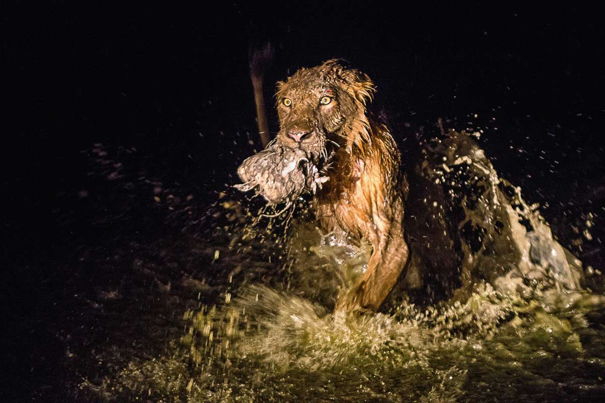 """""""The prize"""" – a lion with a piece of a buffalo kill in Sabi Sands Private Game Reserve, South Africa © Joni Munsterteiger"""