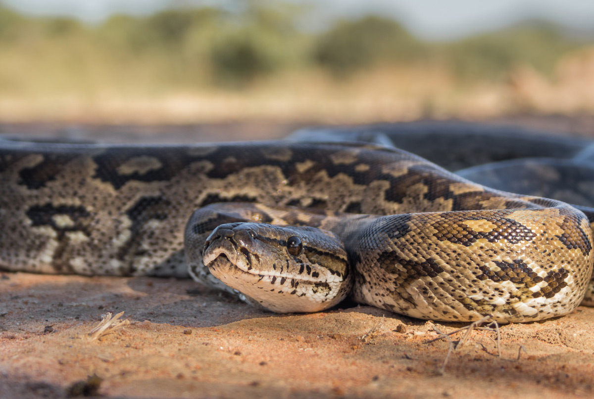 An African rock python in Marakele National Park, South Africa © Keith Hol