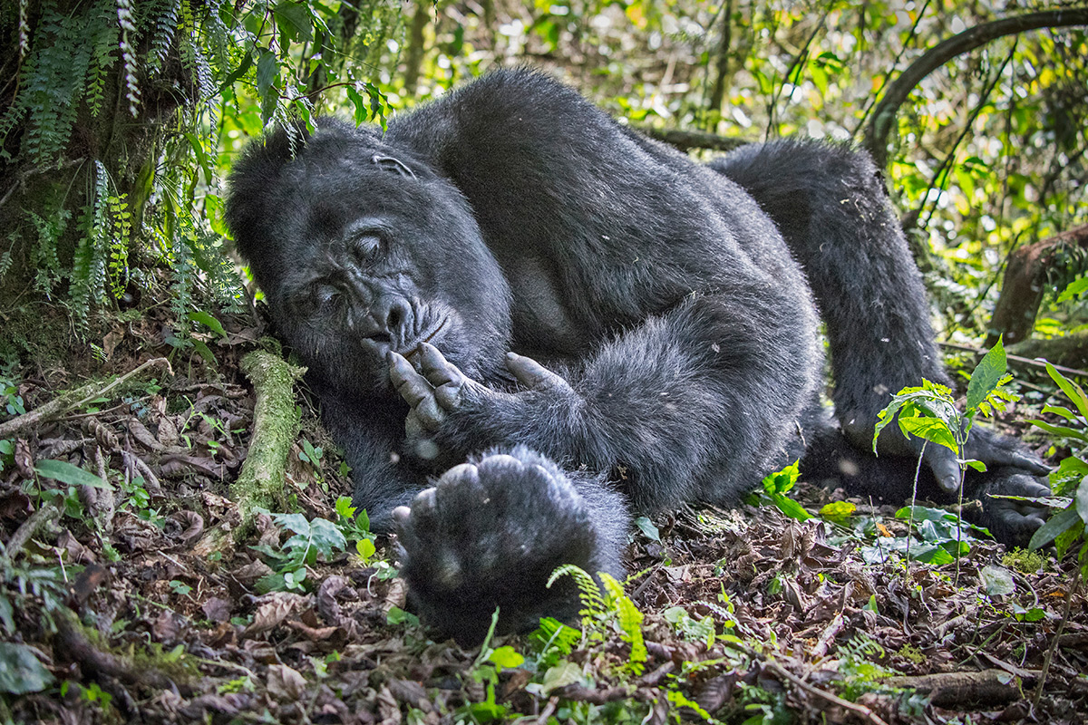 A mountain gorilla rests in Bwindi Impenetrable National Park, Uganda © Kevin Dooley