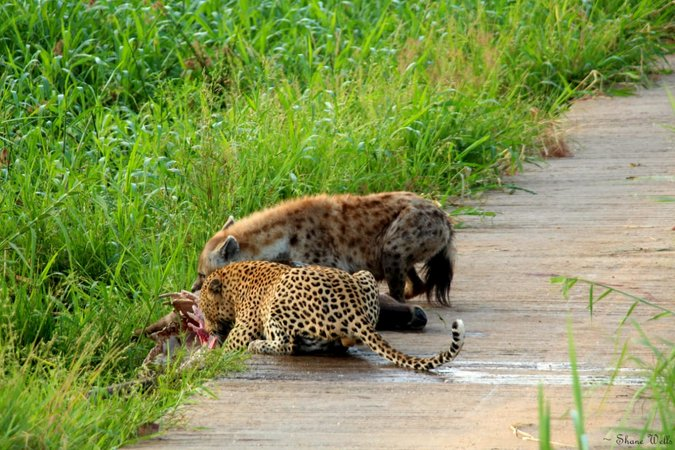 Leopard and hyena eating waterbuck together