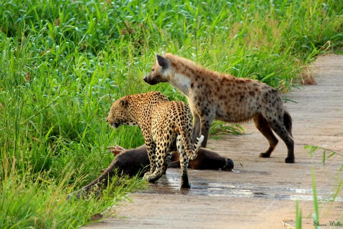 Leopard and hyena at waterbuck carcass