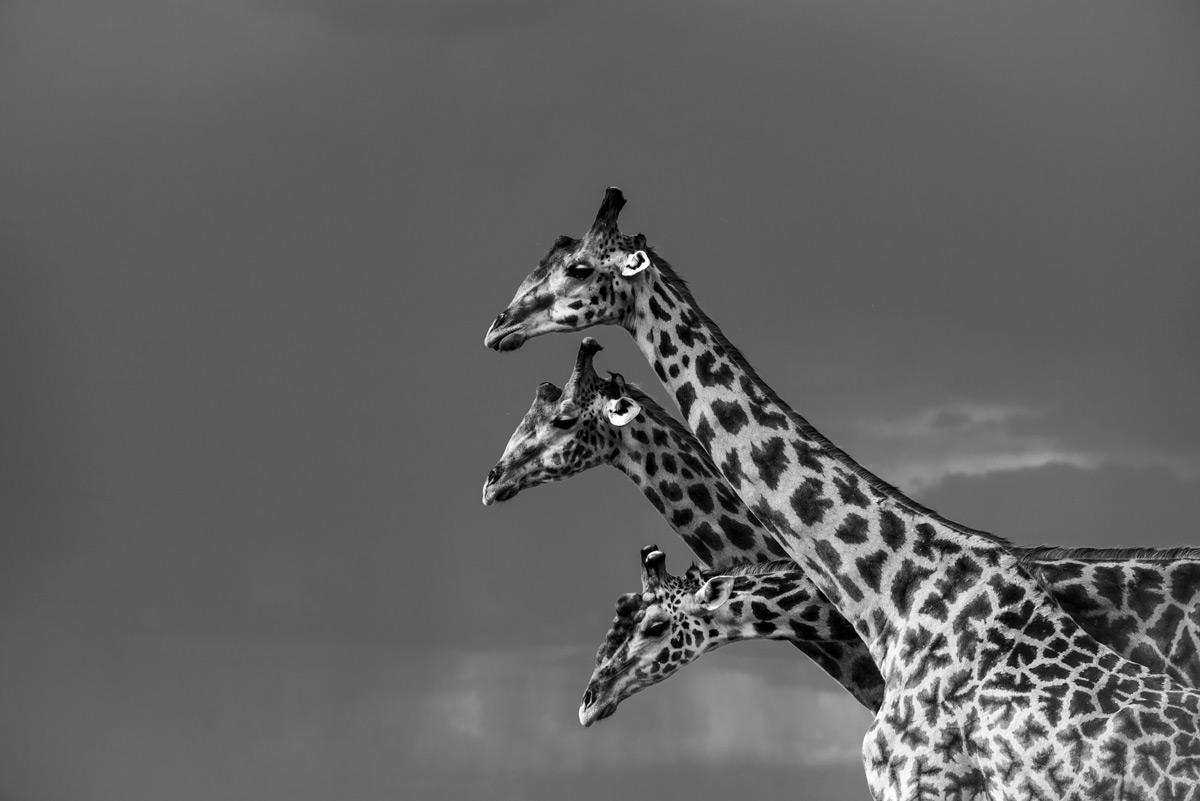 Giraffes in Maasai Mara National Reserve, Kenya © Kush Patel