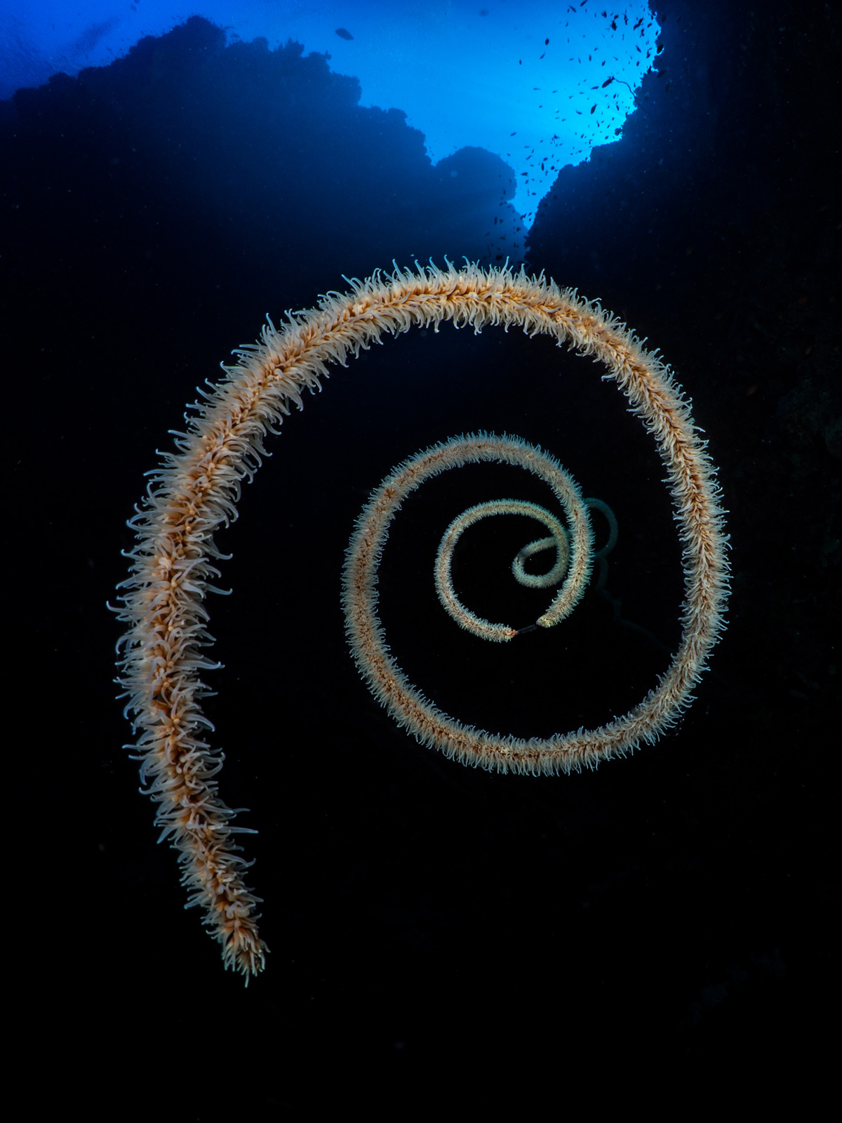 A long whip coral forms a beautiful spiral in Sanganeb Marine National Park, Sudan © Pier Mane