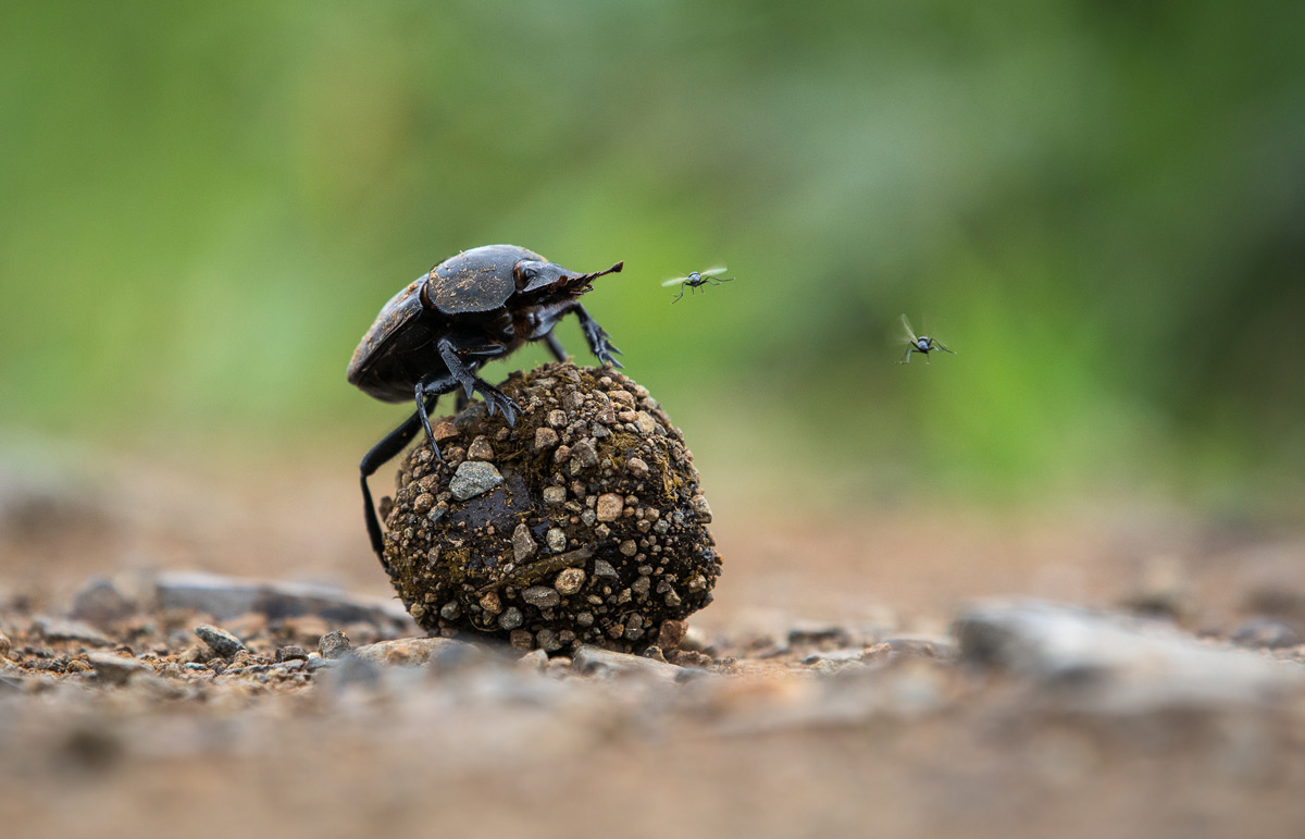 """King of the dung"" in iSimangaliso Wetland Park, South Africa © Manuel Alexander Graf"
