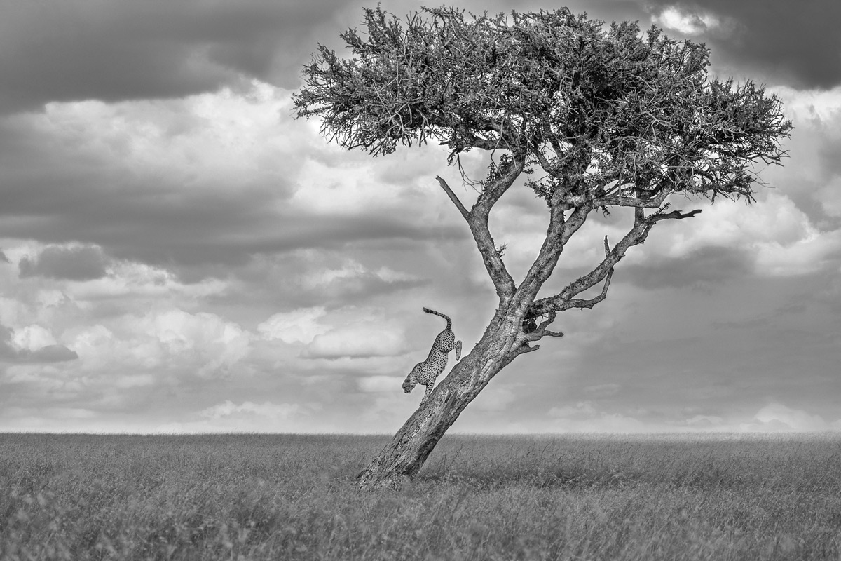 A cheetah descends a tree in Maasai Mara National Reserve, Kenya © Mark Fitzsimmons