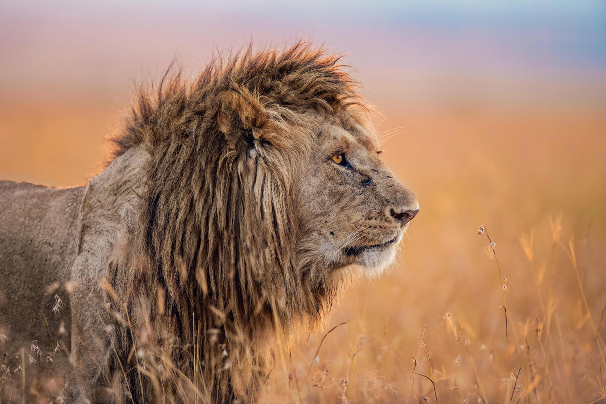 Portrait of the King in Maasai Mara National Reserve, Kenya © Mark Fitzsimmons