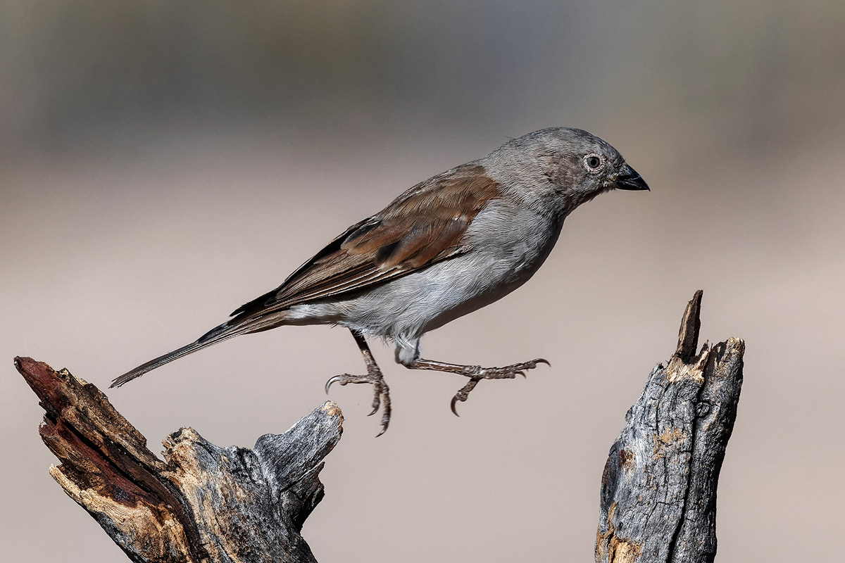A southern grey-headed sparrow hops between branches in Kgalagadi Transfrontier Park, South Africa © Mart-Mari Duvenhage