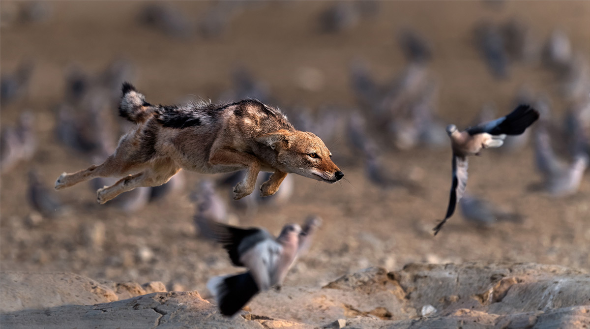 A black-backed jackal flies to catch breakfast in Kgalagadi Transfrontier Park, South Africa © Michiel Duvenhage