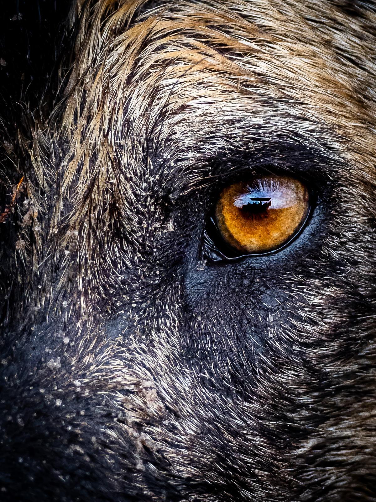 Close up of an alpha female painted wolf in Vumbura Plains, Okavango Delta, Botswana © Nick Leuenberger