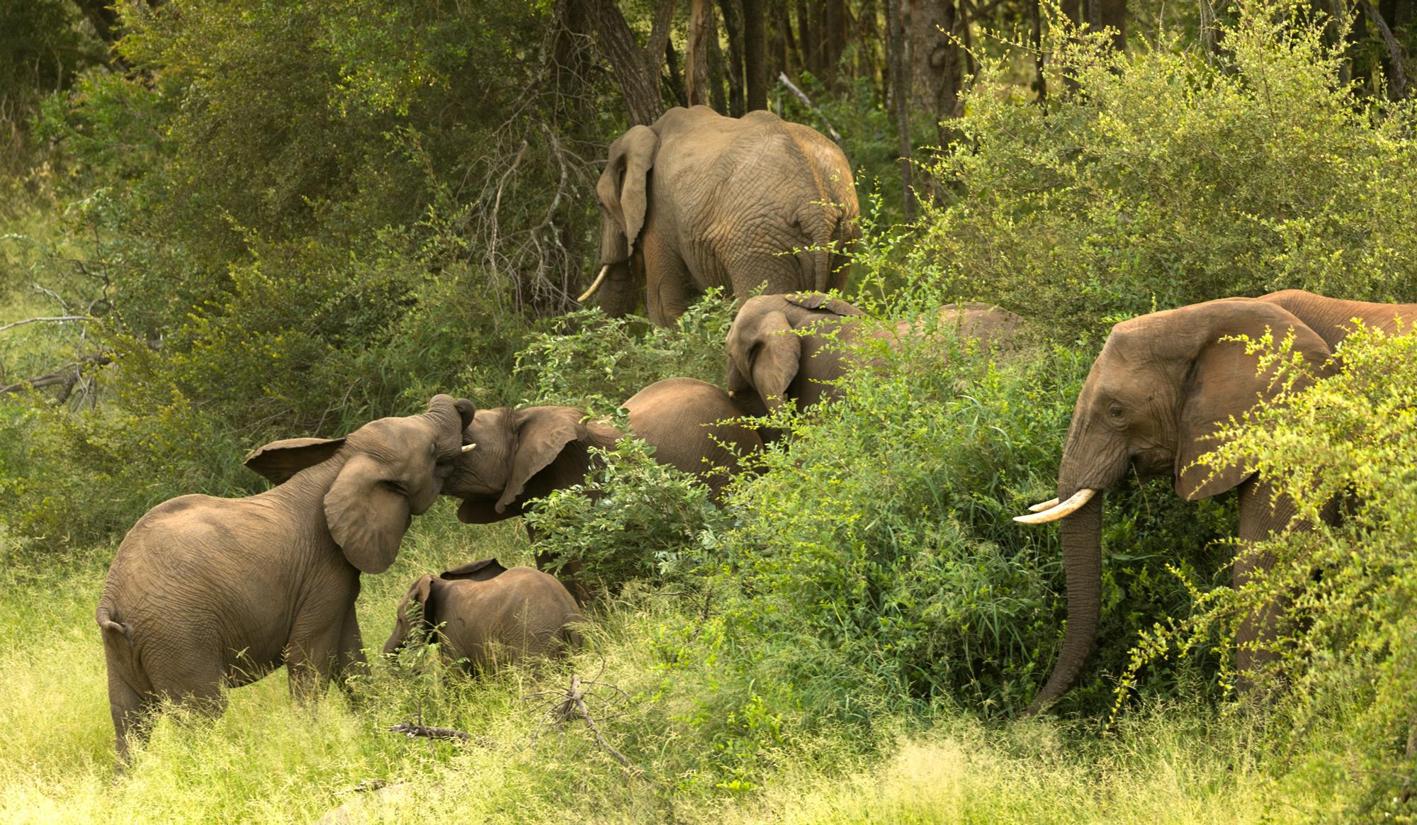 The family herd of elephants socialising © Christian Boix