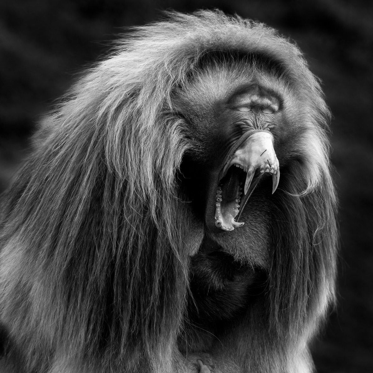 A gelada (also known as a bleeding-heart monkey) yawns in Simien Mountains National Park, Ethiopia © Patrice Quillard