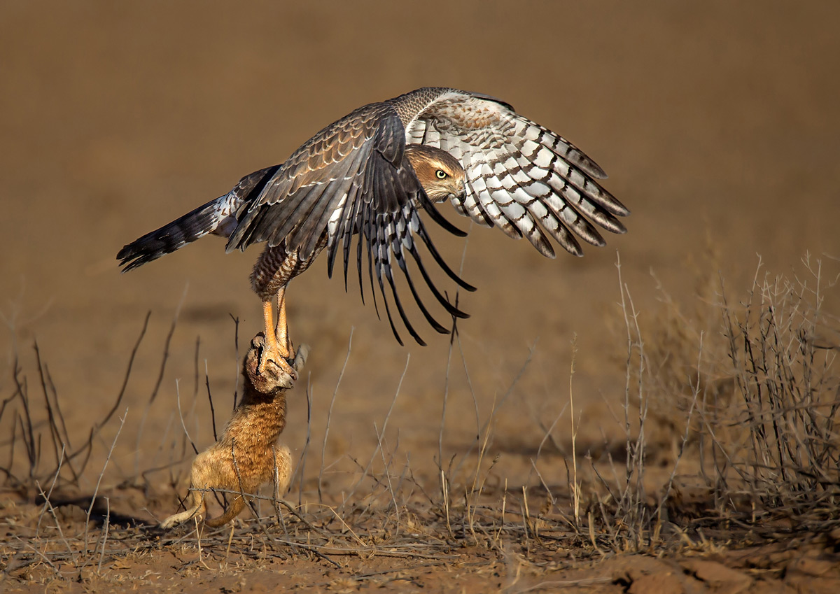 A goshawk takes off with a meerkat in Kgalagadi Transfrontier Park, South Africa © Prof. Gert Lamprecht