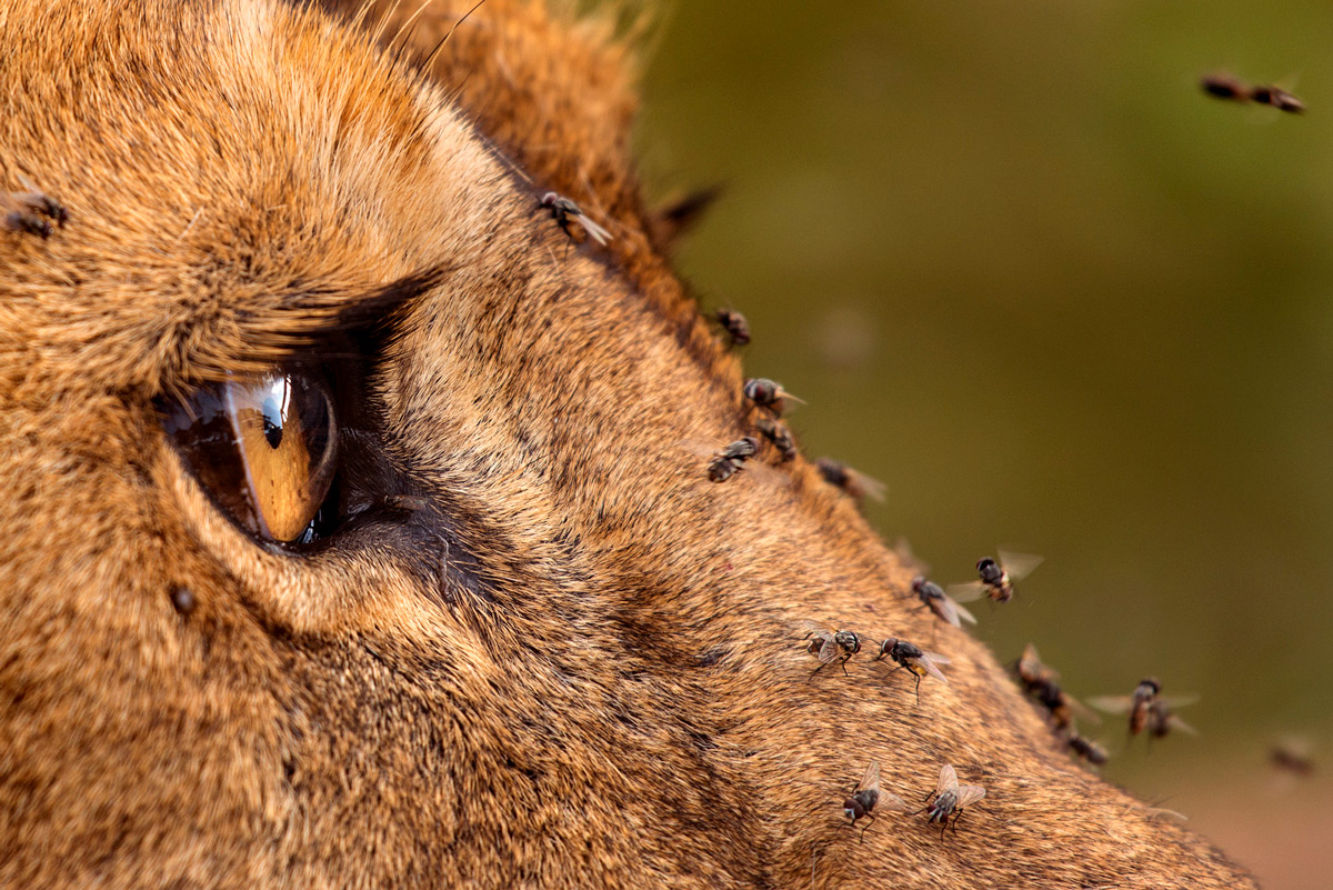 A lioness with flies in Lake Ndutu in Ngorongoro Conservation Area, Tanzania © Roie Galitz