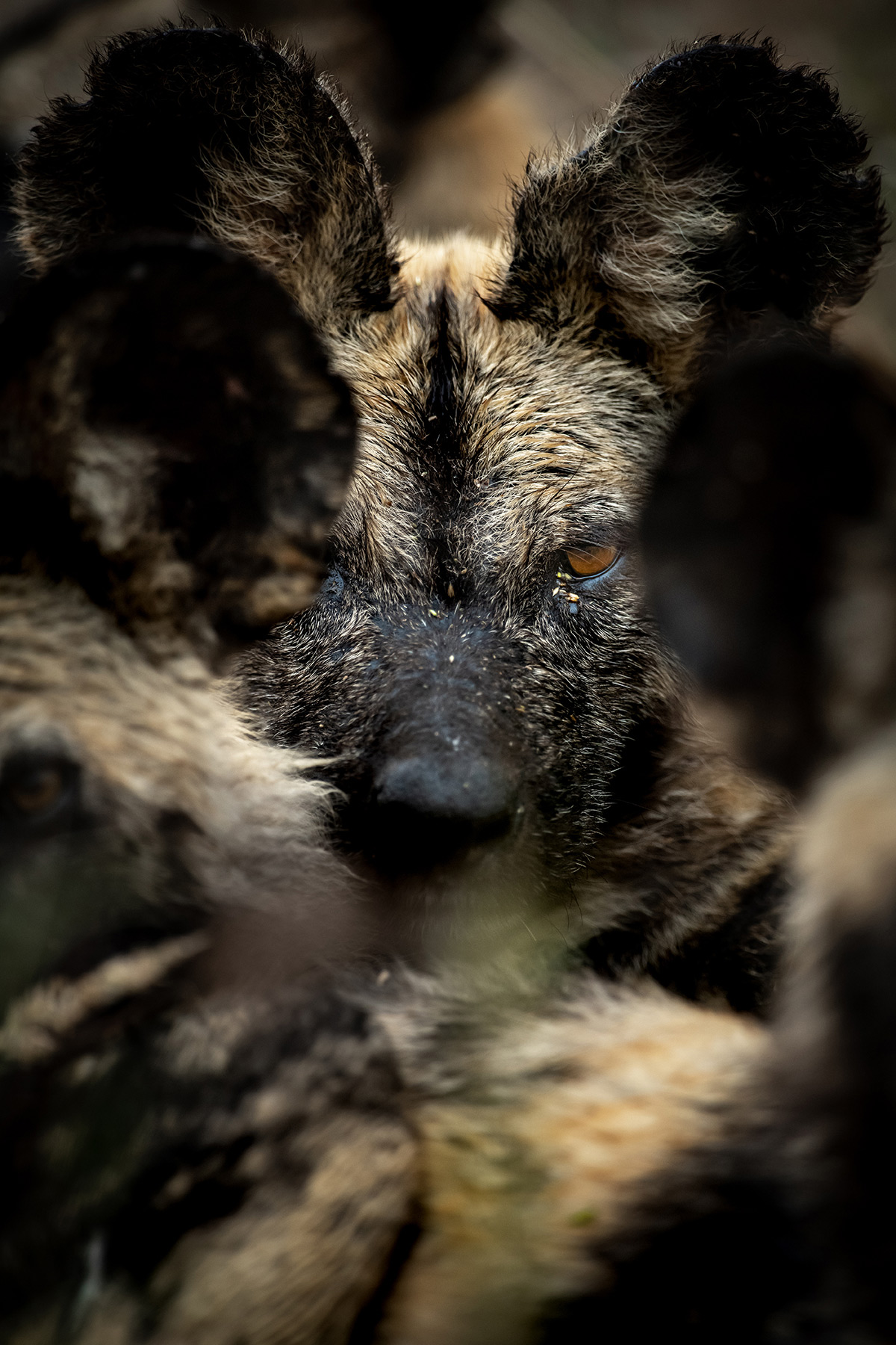 """""""The wolf amongst the sheep"""" – a painted wolf (African wild dog) with its pack in Sabi Sands Private Game Reserve, South Africa © Ross Couper"""